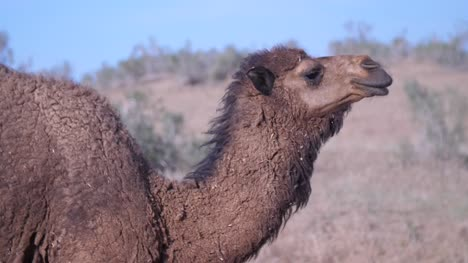 Brown-Camel-in-Desert