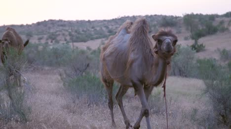 Camel-Walking-Through-Grass