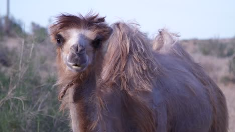 Young-Bactrian-Camel