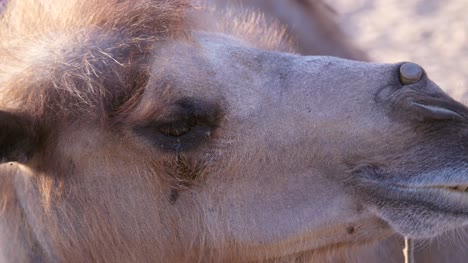 Camel-Eye-Close-Up