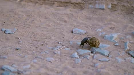 Dung-Beetle-Rolling-Dung-01