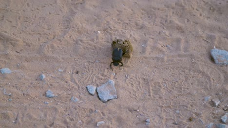 Dung-Beetle-Rolling-Dung-02