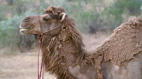 Camel-Eating-Grass