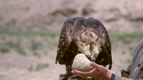 Golden-Eagle-Cleaning-Beak