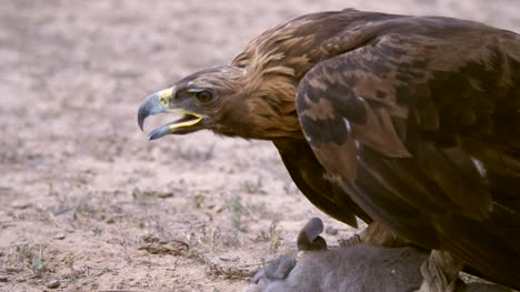 Golden-Eagle-With-Prey