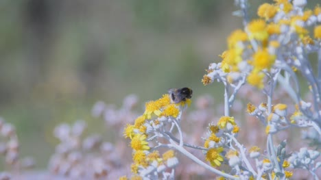 Bumble-Bee-Gathering-Nectar