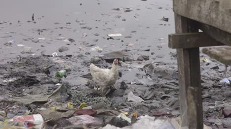 Chicken-on-Rubbish-Nigeria-