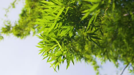 Looking-Up-at-Bamboo-Leaves