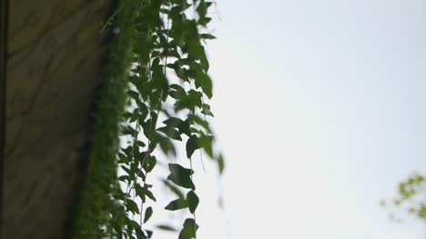 Moving-Past-Trailing-Vines
