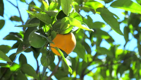 Orange-in-Orange-Tree