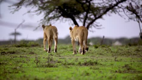 Pair-of-Lionesses-Walking-Away