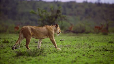 Lioness-Walking-Through-Scrubland-01