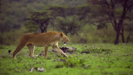 Lioness-Walking-Through-Scrubland-02