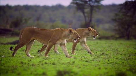 Pair-of-Lionesses-Walking-Together