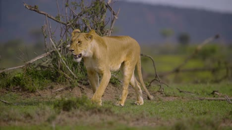 Lioness-Walking-Towards-Camera
