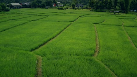 Thai-Rice-Paddies