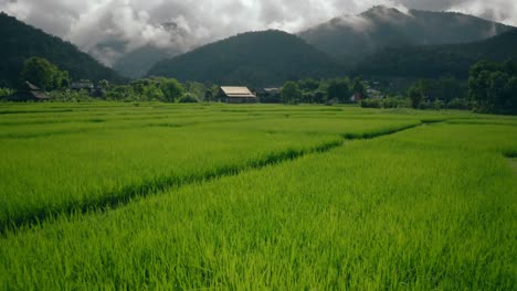 Rice-Paddies-in-Thailand-02
