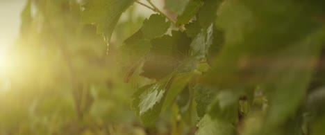 Grape-Vines-In-Evening-Sunlight-01