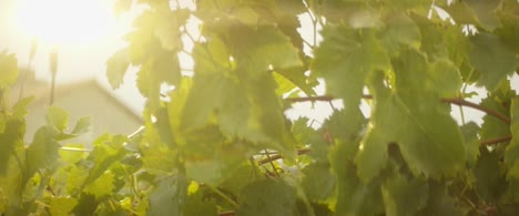 Grape-Vines-In-Evening-Sunlight-04