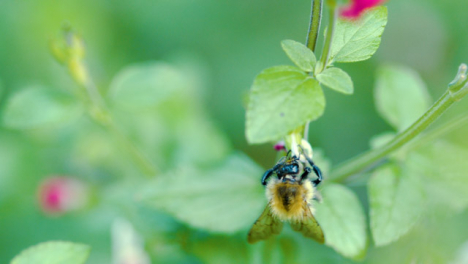 Bumblebee-Pollinating-Flower-Close-Up