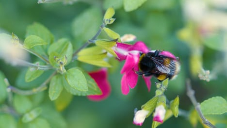 Close-Up-Bumblebee-Pollinating-Flowers