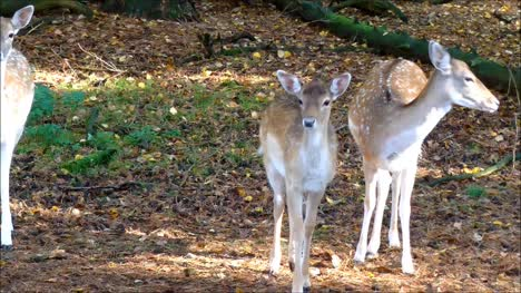 Fallow-Deer-Doe-with-child