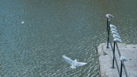 High-Angle-Shot-of-Seagulls-In-River-and-Perched-On-Railing-In-Bristol-