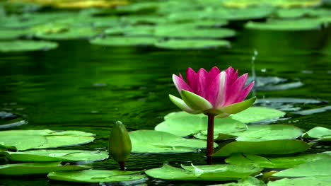 A-beautyful-Lotus-in-river-water-