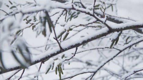 Extreme-Tracking-Close-Up-Shot-Along-Snow-Covered-Branch