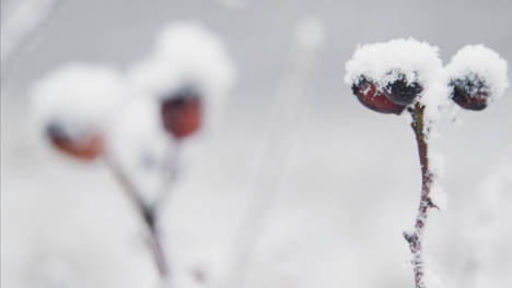 Extreme-Close-Up-Shot-of-Snow-Covered-Berries-In-Woodland