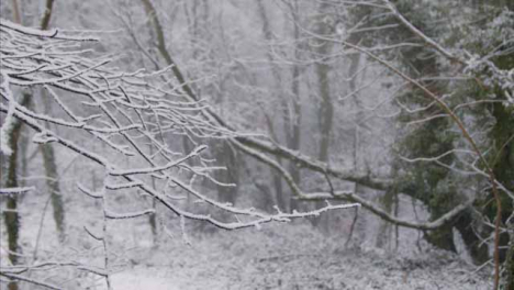 Pull-Focus-Shot-of-Snow-Covered-Trees-and-Branches-In-Woodland