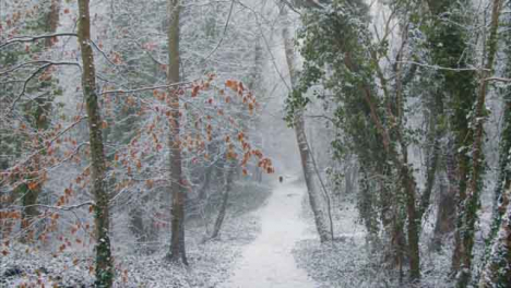 Tilting-Shot-Looking-Up-at-Snow-Covered-Trees-In-Snowy-Woodland-Area