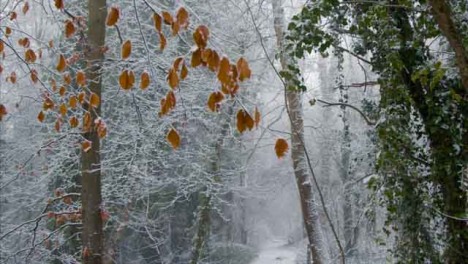 Tilting-Shot-Looking-Up-at-Snow-Covered-Trees-In-a-Snowy-Woodland