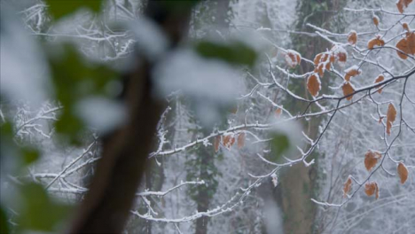 Panning-Shot-Across-Snow-Covered-Branches-In-Woodland