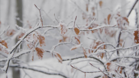 Extreme-Close-Up-Shot-of-Snow-Covered-Branches-and-Leaves-