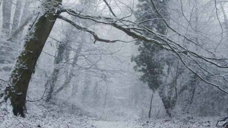 Tilting-Shot-Looking-Up-at-Snow-Covered-Trees-In-Woodland-Area