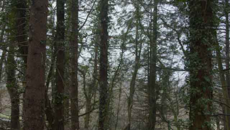 Tracking-Shot-Looking-Up-Treetops-In-Woodland-Area