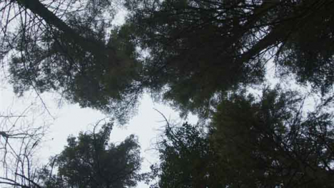 Low-Angle-Rotating-Shot-Looking-Up-at-Treetops-In-a-Woodland-Area