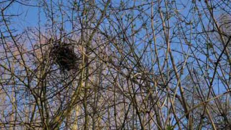 Low-Angle-Shot-Looking-Up-at-Birds-Nest-In-Branches