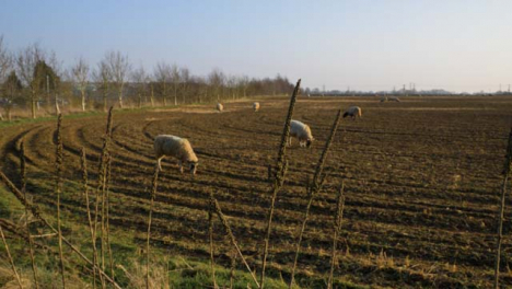 Tilting-Shot-Looking-Up-at-Tall-Dried-Plants-On-Fields-Edge-with-Sheep-In-Background
