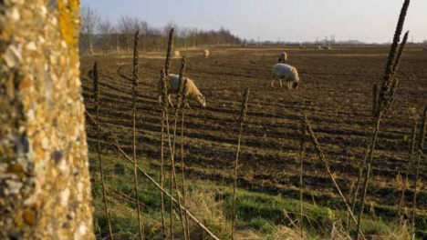 Panning-Shot-of-Tall-Dried-Plants-On-Fields-Edge-with-Sheep-In-Background