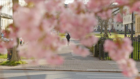 Pull-Focus-Shot-from-Blossom-Tree-Branches-to-Person-Walking-In-Distance
