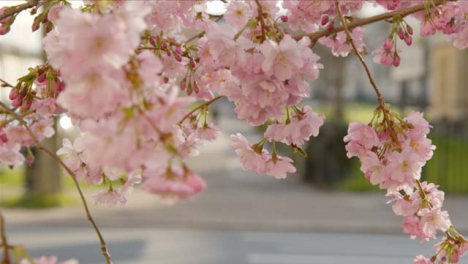 Pull-Focus-Shot-from-Person-Walking-In-Distance-to-Blossom-Tree-Branches
