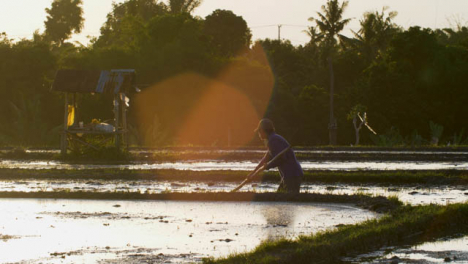 Tracking-Shot-Following-Farm-Worker-In-a-Paddy-at-Sunset