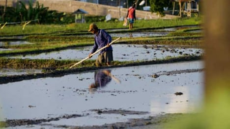 Tracking-Shot-of-Farm-Workers-Working-In-Paddies-