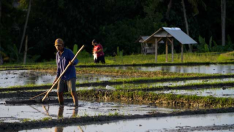 Tracking-Shot-of-Farm-Workers-Working-In-a-Paddy