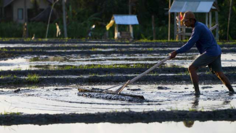 Tracking-Shot-Following-a-Farm-Worker-In-a-Paddy