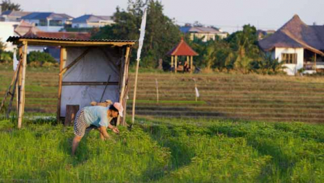 Tracking-Shot-Past-a-Bush-Revealing-Farm-Worker-In-Field-During-Sunset