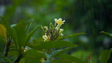Close-Up-Shot-of-Rain-Falling-On-Flower