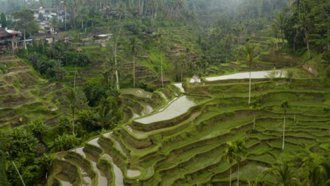 Drone-Shot-Passing-Over-Tegallalang-Rice-Terraces-